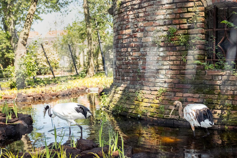 Kraanvogels in de gracht van de nieuwe Ruïne, ooit opgebouwd uit stenen van kasteel Brederode.