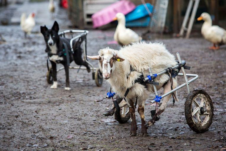 Het verlamde Griekse schaap Yiannoula wordt opgevangen in een Zeeuwse zorgboerderij. Beeld