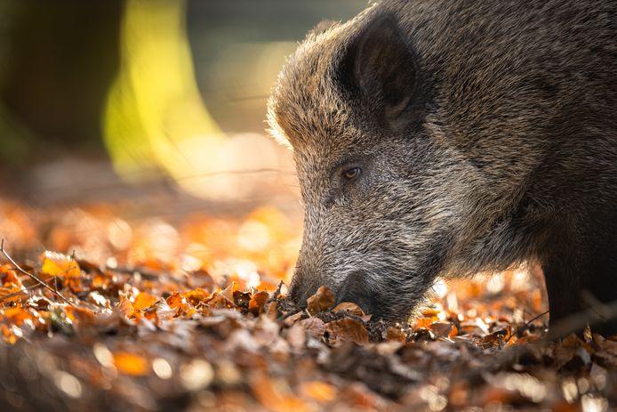 Wilde zwijnen laten zich de laatste jaren weer vaker zien in de regio Zuidoost-Brabant.