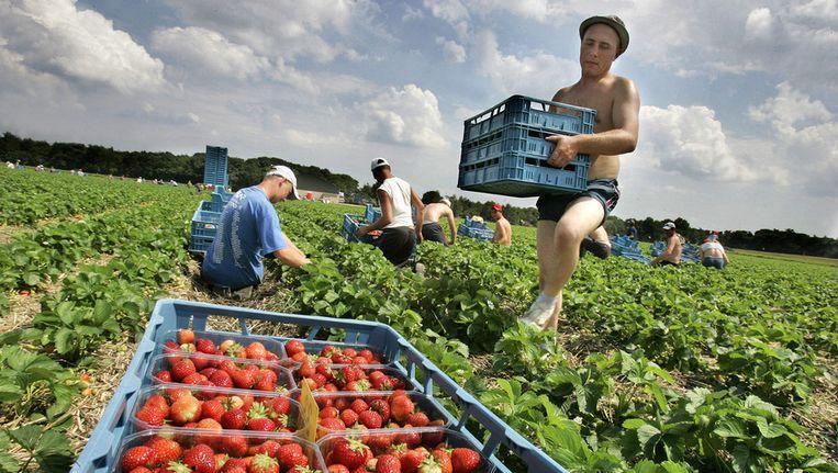 Aardbeien plukken is een van de klussen die in Nederland vooral wordt uitgevoerd door Roemeense en Bulgaarse contractanten. © ANP Beeld null