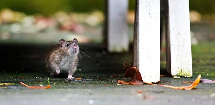 Een rat. (Archieffoto).