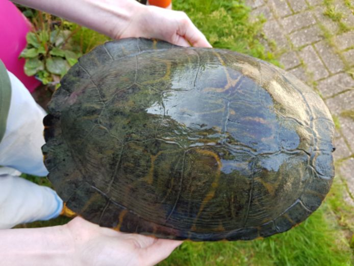 De gevonden schildpad