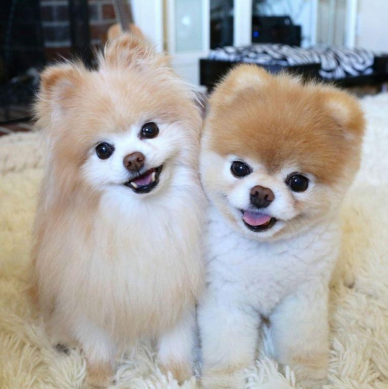 Toen Buddy (rechts) een jaar geleden stierf, kreeg Boo last van hartproblemen.