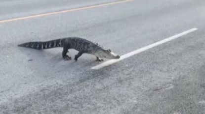 Alligator steekt de straat over in Montreal