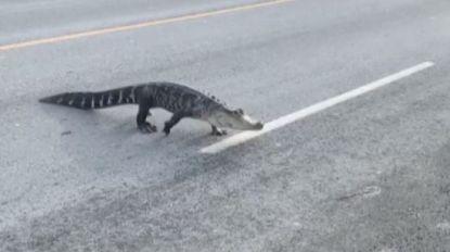 Alligator steekt de straat over in Montreal