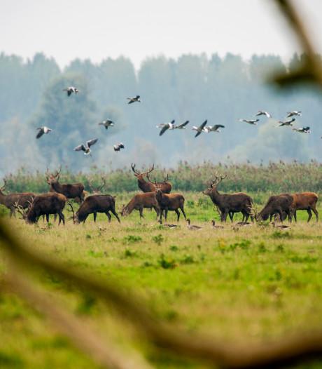 Gedeputeerde: Kou maakte afschot 252 herten in Oostvaardersplassen in één dag mogelijk