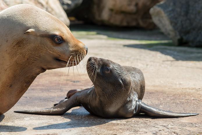 Foto ter illustratie. Op de werkplek van de nieuwe junior marketing- en communicatiemedewerker zijn de zeeleeuwen te horen.