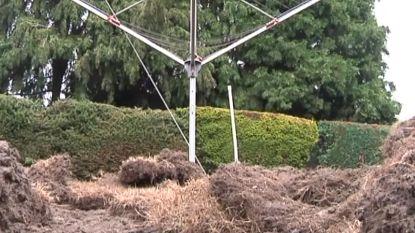 Everzwijnen richten ravage aan in Genkse tuin