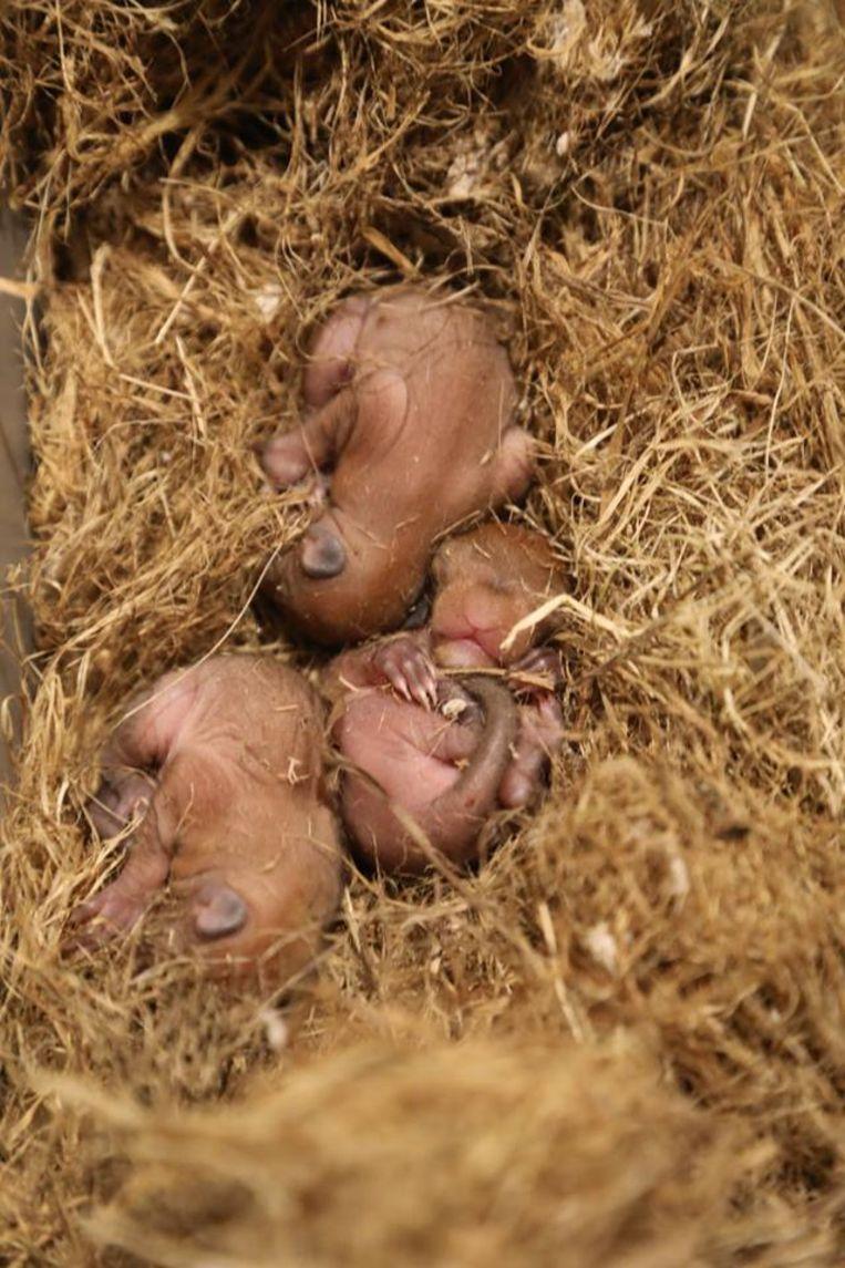 Eekhoorntjes werden binnengebracht in Natuurhulpcentrum Opglabbeek