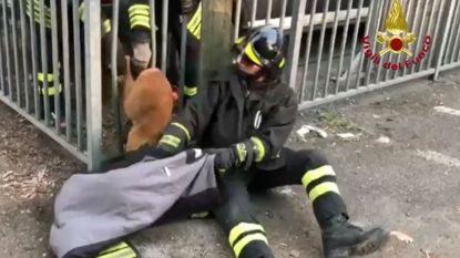 Brandweer redt hert dat vastzit in hek