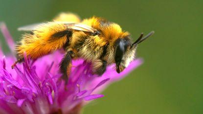 Zeldzame bijensoorten gespot op IKEA-bedrijventerrein in Genk