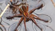 Gerande oeverspin is Europese spin van het jaar