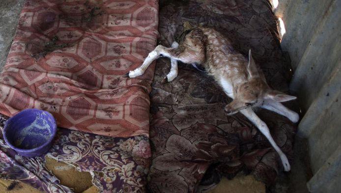 Dit zieke hertje werd uit de 'slechtste zoo ter wereld' gered.