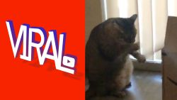 VIRAL. Mollige kat is een muzikaal toptalent