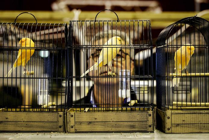 Een keurmeester beoordeelt de vogels in de IJsselhallen.