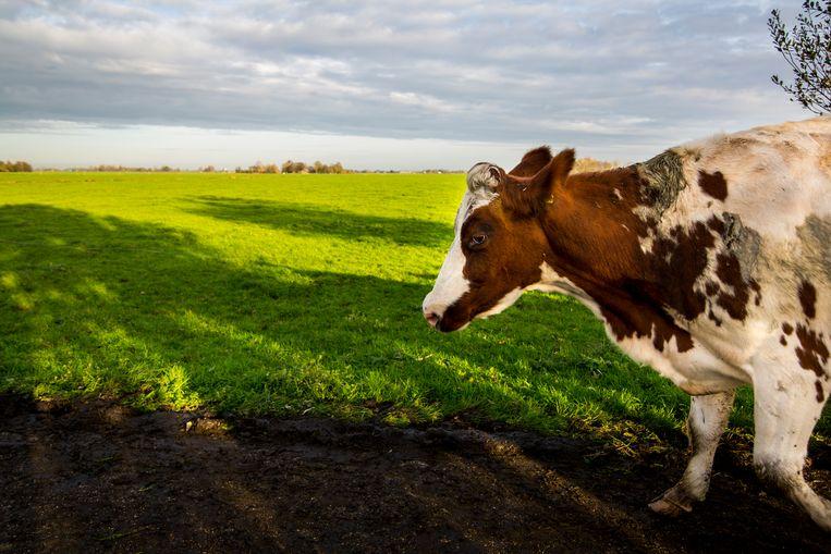 Na een dag in de wei zoekt een koe de stal weer op. Voor het weiden van vee in de buurt van natuurgebieden is een vergunning nodig, oordeelde de Raad van State. De gezamenlijke Nederlandse provincies zien dat anders. Beeld ANP