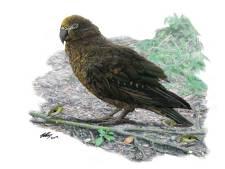 Botten van enorme papegaai van meter hoog ontdekt in Nieuw-Zeeland