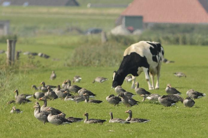 Volgens veel boeren grazen koeien niet van weiland waar ganzen hebben gezeten. In de praktijk is dat niet altijd zo...