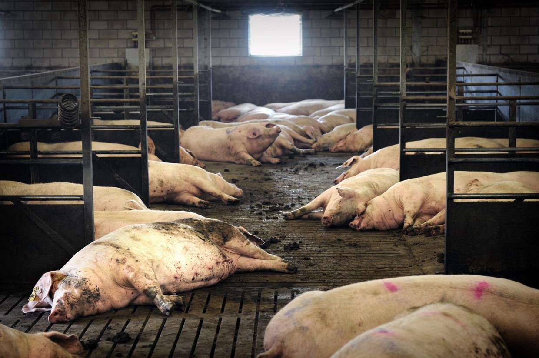 Varkens in een stal in Haaren.