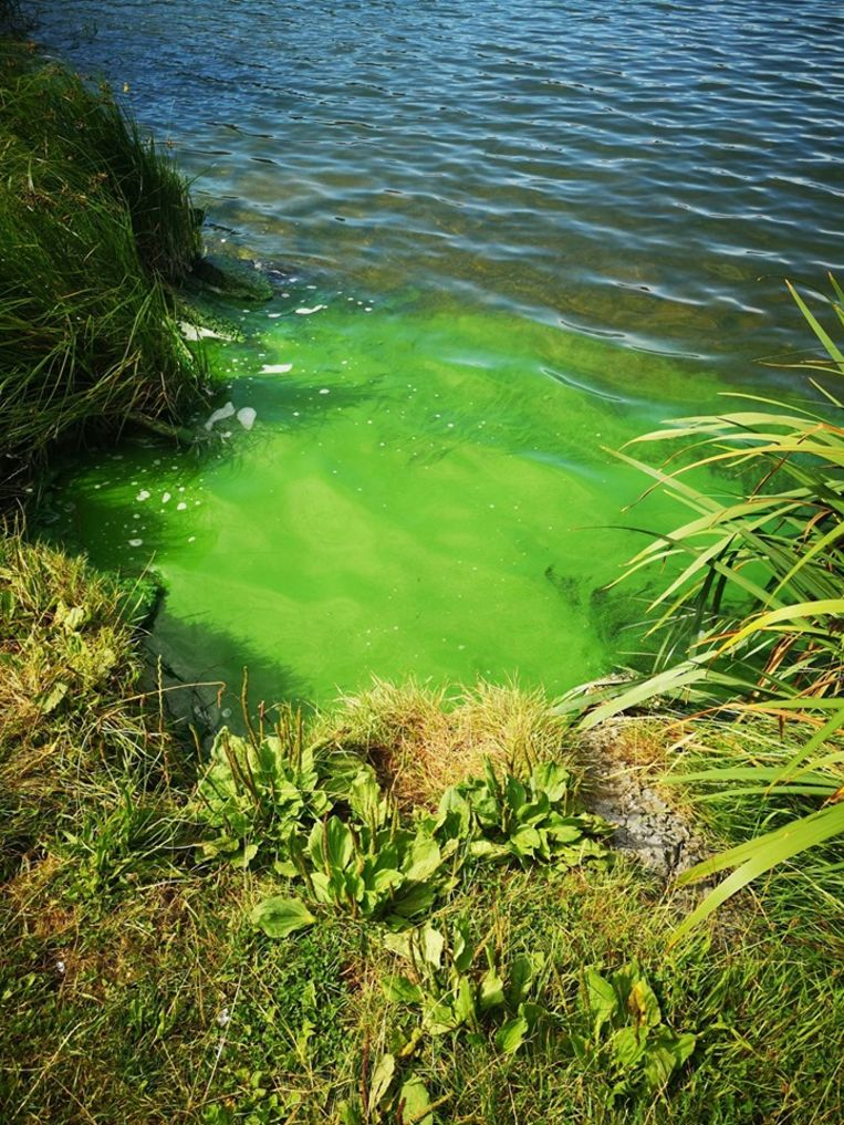 Blauwalgen gesignaleerd in waterlopen en -plassen in Nieuwpoort.