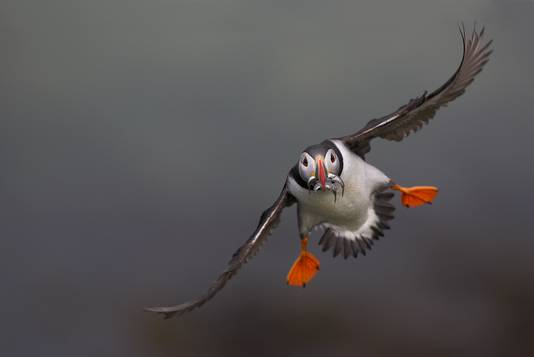Papegaaiduiker in vlucht.