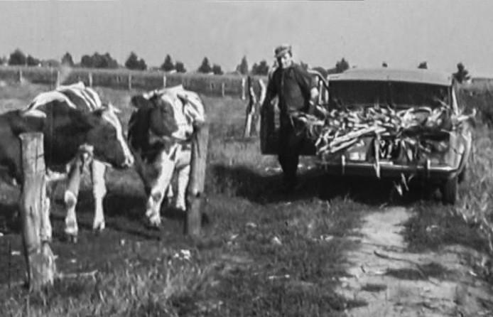 Gerrit Bongers voert koeien bij met mais vanwege tekort aan gras door de droogte in 1976.