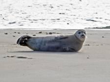 Zeehond in Veerhaven trekt bekijks van passanten, tot ergernis van reddingsteam: 'Laat het dier met rust'