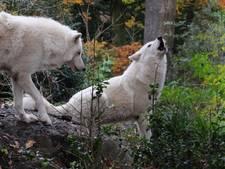 Moederwolf overleden in Artis