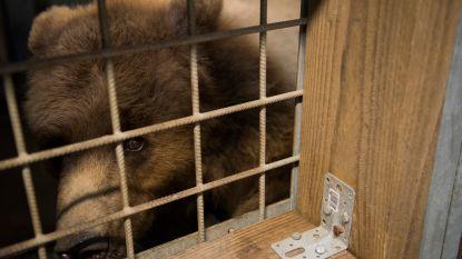 VIDEO. Verwaarloosde beren eindelijk aangekomen in De Zonnegloed