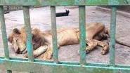 """Bezoekers van zoo in Bangladesh furieus om graatmagere leeuw: """"Hij is beter af met een dodelijk spuitje"""""""