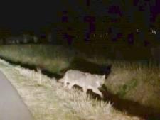 Wolf gezien in Gelderland: 'Mijn jachthond werd gek'