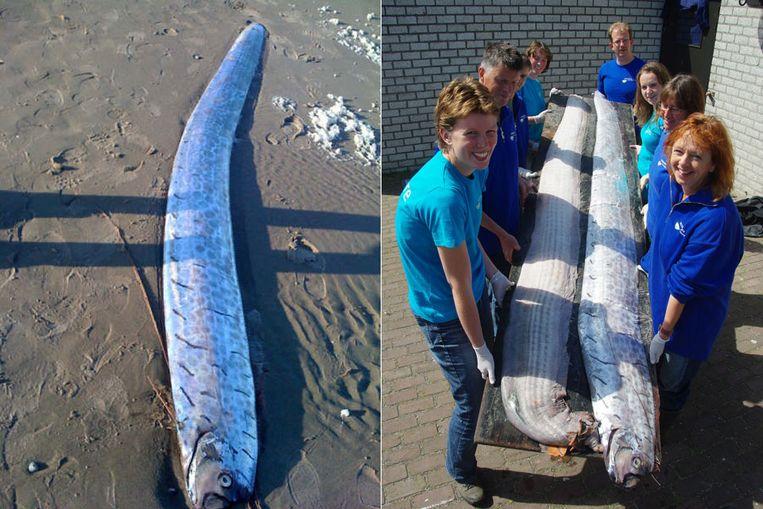 De drie meter lange riemvissen die zijn aangespoeld op Texel en Vlieland. (Foto Ecomare/Sander Gremme) Beeld