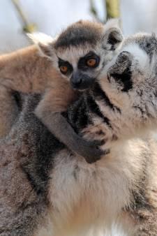 Wat lief: babymaki lift mee op de rug van knabbelende mama