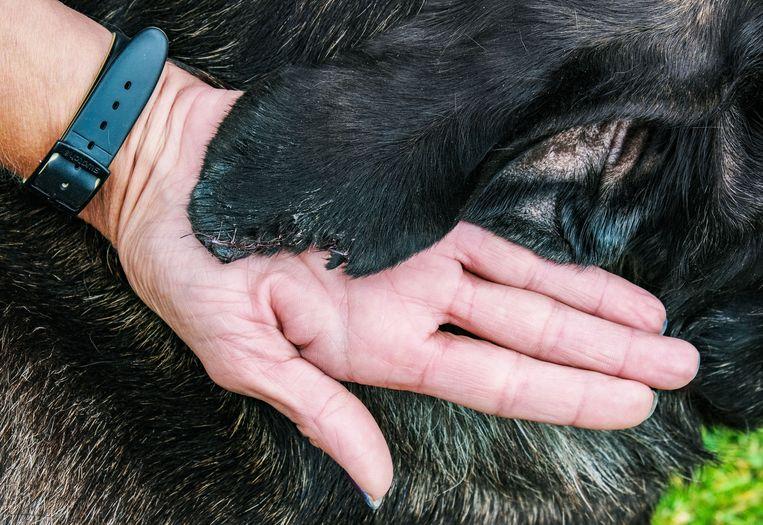 Het stukje oor werd door de politie teruggevonden, maar het was te laat om  terug aan te naaien.