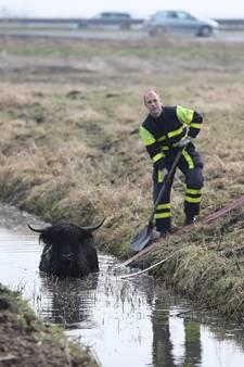 Schotse Hooglander neemt verfrissende duik