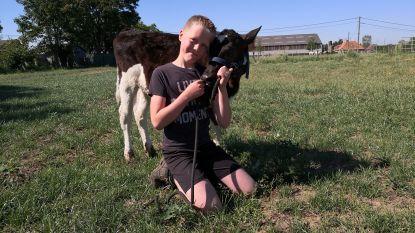 """VIDEO. Geen coronaverveling bij deze tiener: """"Ik ga graag op wandel met mijn kalfje"""""""