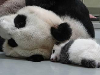 Aandoenlijke eerste knuffel van babypanda met mama laat niemand onberoerd