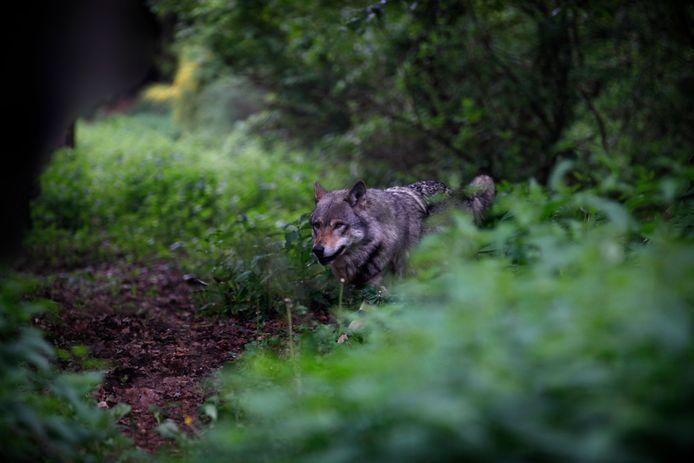 Fotograaf Marielle van Uitert legde zelf een wolf vast op haar camera. Maar dan wel een in een natuurreservaat in de Duitse Lausitz. En dat haalt het natuurlijk niet bij een exemplaar in het wild.