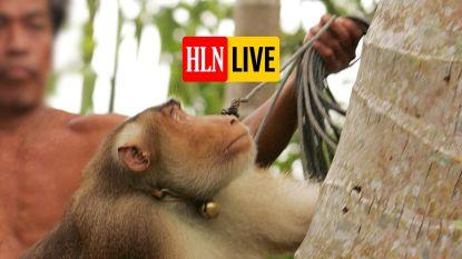 Extreme dierenmishandeling: geketende aapjes moeten tot 1.000 kokosnoten plukken per dag