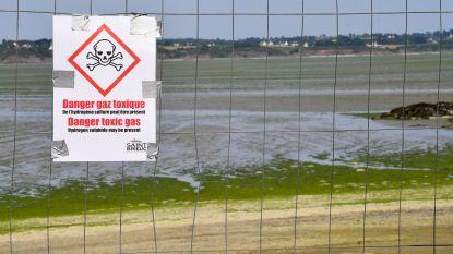 """Giftige algen teisteren Bretoense stranden: """"Ze kunnen je in enkele seconden doden"""""""