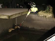 Rumoer in Sambeek: schreeuwende dassen in een zwembad
