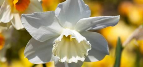Dure narcissenbollen ingestopt volgens het lasagnesysteem