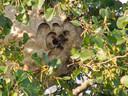 Het nest van de Aziatische hoornaar in Veenendaal-West.