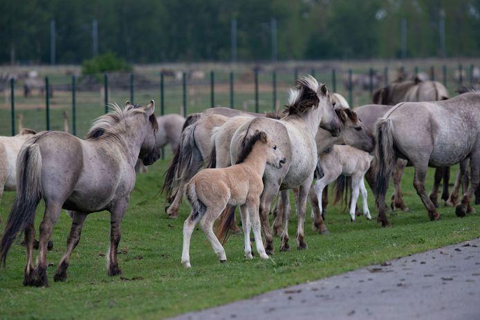 Konikpaarden in de Oostvaardersplassen bij Lelystad.
