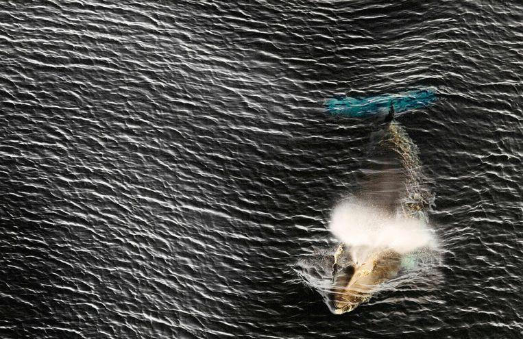 Een dwergvin-walvis in de Rosszee. Beeld AFP