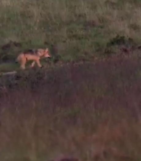 Nieuwe beelden wolvenwelpen opgedoken: wolfjes snuffelen op de Veluwse heide