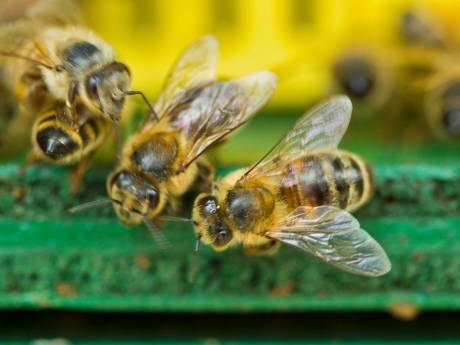 Zeven zeldzame bijensoorten gespot in deel Groene Hart