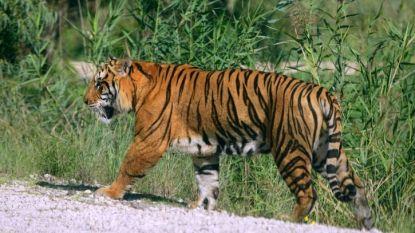China maakt handel in tijgers en neushoorns toch niet legaal