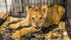Leeuwenwelp aangetroffen in appartement in Parijse banlieue