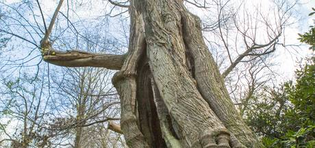 De Beekse Kabouterboom: een 450 jaar oude, markante reus